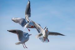 De zeemeeuwen vechten over voedsel stock afbeelding