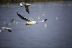 De zeemeeuwen vliegen met blauwe hemel royalty-vrije stock afbeelding