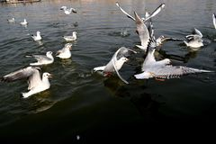 De zeemeeuwen zijn na Friet royalty-vrije stock fotografie