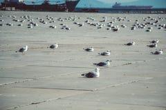 De zeemeeuwen zijn op rust op een concrete grond stock afbeelding
