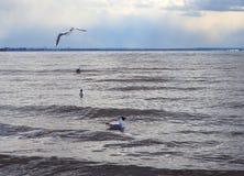 De zeemeeuwen zwemmen en vliegen over het overzees stock foto's