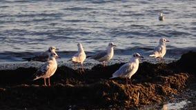 De zeemeeuwentribune op het strand en borstelt hun veren met hun bekken stock video