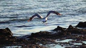 De zeemeeuwentribune op het strand en borstelt hun veren met hun bekken Langzame Motie stock videobeelden