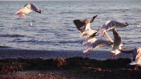 De zeemeeuwentribune op het strand en borstelt hun veren met hun bekken Langzame Motie stock video