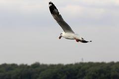 De zeemeeuwvogel die wegvliegen na krijgt voedsel van het menselijke voeden door Th Stock Afbeeldingen