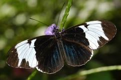 De Zeer belangrijke Vlinder van de piano Royalty-vrije Stock Afbeelding