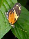 De Zeer belangrijke Vlinder van de piano Stock Foto