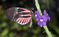 De Zeer belangrijke Vlinder van de piano Stock Afbeeldingen