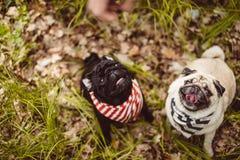 De zeer gelukkige pug zusters wachten op snacks zittend op grond Stock Foto