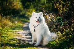 De zeer Grappige Gelukkige Grappige Mooie Hond van Huisdieren Witte Samoyed Openlucht in S Stock Afbeelding