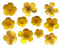ButtercupsBlossoms Stock Fotografie