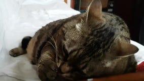 De zeer grote kat likt zijn poot en wast zijn gezicht die op de bank liggen dicht stock video