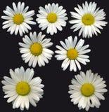 MargueriteBlossoms Royalty-vrije Stock Foto