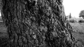 De zeer oude boomstam van de pijnboomboom in B&W royalty-vrije stock foto