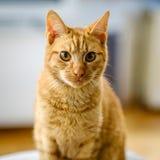 De zeer vrij oranje en rode gestreepte kat bekijkt de camera Stock Afbeeldingen
