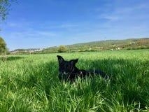 De zeer zwarte die Mengeling van hondlabrador in het diepe gras van een verse weide wordt verborgen stock afbeelding