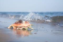 De Zeeschelp van het strand Stock Afbeelding