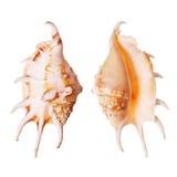 De Zeeschelpen van Lambis stock fotografie