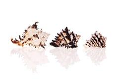 De Zeeschelpen van Murex Royalty-vrije Stock Afbeeldingen