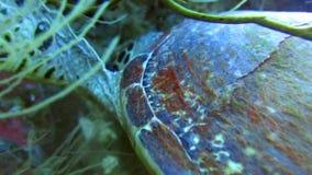 De zeeschildpad knaagt aan harde koralen met zijn scherpe bek De zeeschildpad wordt gevoed door een overzees dier Prachtig gekleu stock videobeelden