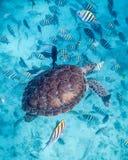 De Zeeschildpad van Belize Stock Foto