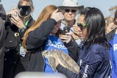 De Zeeschildpad van Clearwatermarine aquarium staff releasing green royalty-vrije stock afbeelding