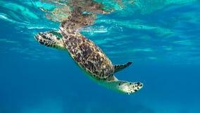 De zeeschildpad zwemt aan de oppervlakte aan ademlucht met remoravissen stock videobeelden