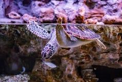 De zeeschildpad zwemt onder water stock afbeelding