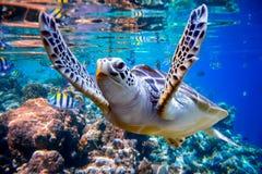 De zeeschildpad zwemt onder water op de achtergrond van koraalriffen stock afbeeldingen