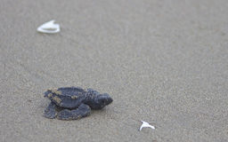 De zeeschildpadbaby van olijfridley onderweg aan de oceaan Royalty-vrije Stock Foto