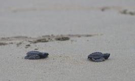 De zeeschildpadbabys van olijfridley onderweg aan de oceaan Royalty-vrije Stock Foto