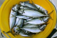De zeevruchten van de makreel in gele emmer Royalty-vrije Stock Foto's