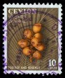 De zegel in Ceylon Sri Lanka wordt gedrukt toont nu beeld van koningskokosnoten die stock afbeeldingen