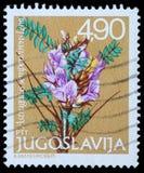 De zegel die in Joegoslavië wordt gedrukt toont Astragalus sempervirens Lam royalty-vrije stock afbeelding
