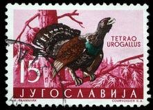 De zegel in Joegoslavië wordt gedrukt toont het Westelijke Auerhoen dat stock afbeeldingen
