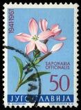 De zegel in Joegoslavië wordt gedrukt toont Saponaria die stock afbeeldingen