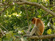 De zeldzame en mooie enige zuigorganenaap met het is unieke lange neuszitting in een boom bij het Nationale Park van Bako stock afbeeldingen