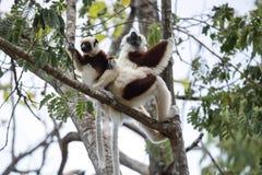 De zeldzame maki Bekroond Sifaka, Propithecus Coquerel, een wijfje met een welp zit op een boom, Ankarafantsika-Reserve, Madagasc stock fotografie