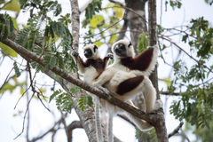 De zeldzame maki Bekroond Sifaka, Propithecus Coquerel, een wijfje met een welp zit op een boom, Ankarafantsika-Reserve, Madagasc royalty-vrije stock fotografie