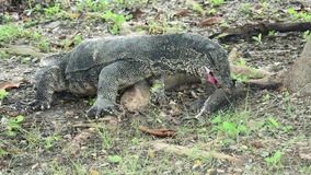 De zeldzame scène van reuzehagedis of Comodo-draak jaagt en doodt een het slang-hoofd van het het levens zoet water vis in de tro stock videobeelden