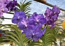 De zeldzame species Aziatische orchidee Royalty-vrije Stock Afbeelding