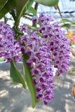 De zeldzame species Aziatische orchidee Royalty-vrije Stock Afbeeldingen