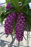 De zeldzame species Aziatische orchidee Stock Fotografie