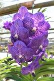 De zeldzame species Aziatische orchidee Royalty-vrije Stock Foto
