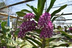 De zeldzame species Aziatische orchidee Stock Afbeelding