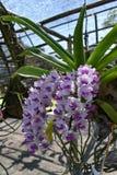 De zeldzame species Aziatische orchidee Royalty-vrije Stock Fotografie
