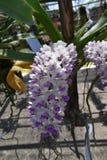 De zeldzame species Aziatische orchidee Stock Foto's