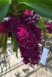 De zeldzame species Aziatische orchidee Stock Afbeeldingen