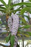 De zeldzame species Aziatische orchidee in Chiang Mai, Noordelijk Thailand Royalty-vrije Stock Afbeeldingen