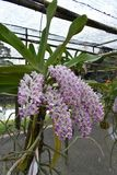 De zeldzame species Aziatische orchidee in Chiang Mai, Noordelijk Thailand Stock Fotografie